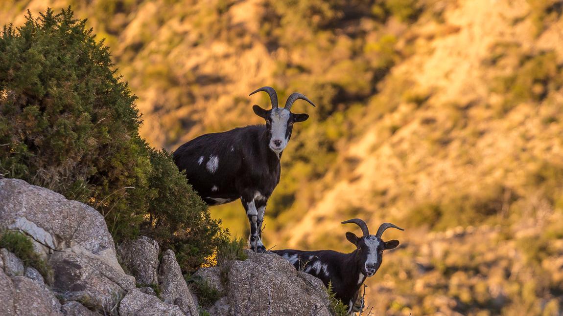 Petites chèvres sauvages aux abords des ruines du château de Rodès