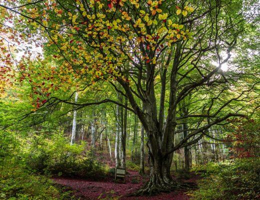 Hêtre remarquable dans la forêt du Vivier