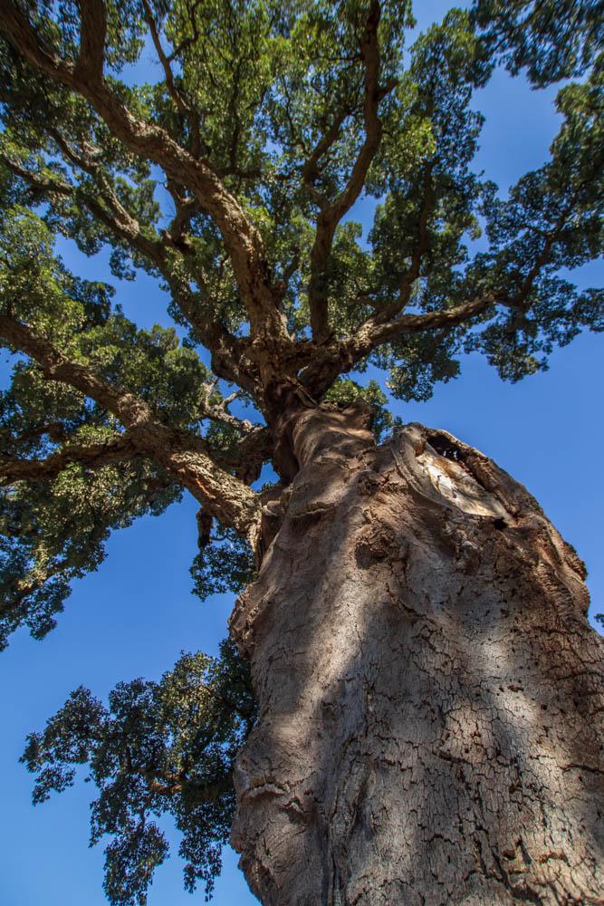 Chêne liège centenaire à Reynes