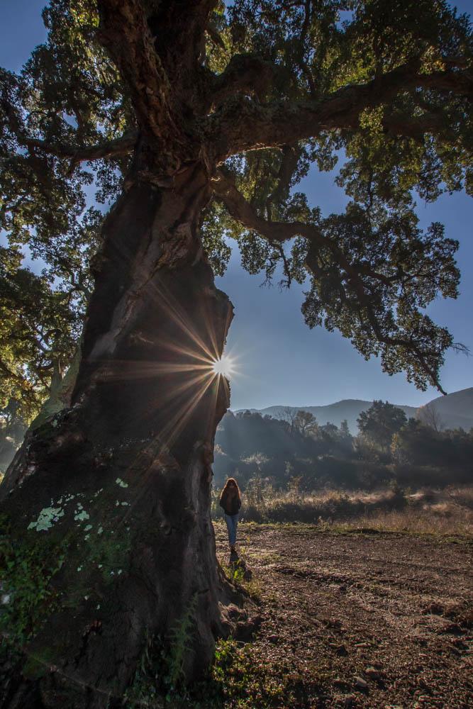 Contre jour sur le chêne liège de Reynes