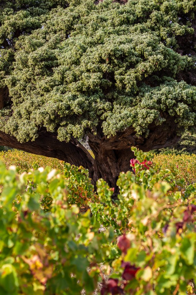 Le genévrier d'Opoul un arbre millénaire