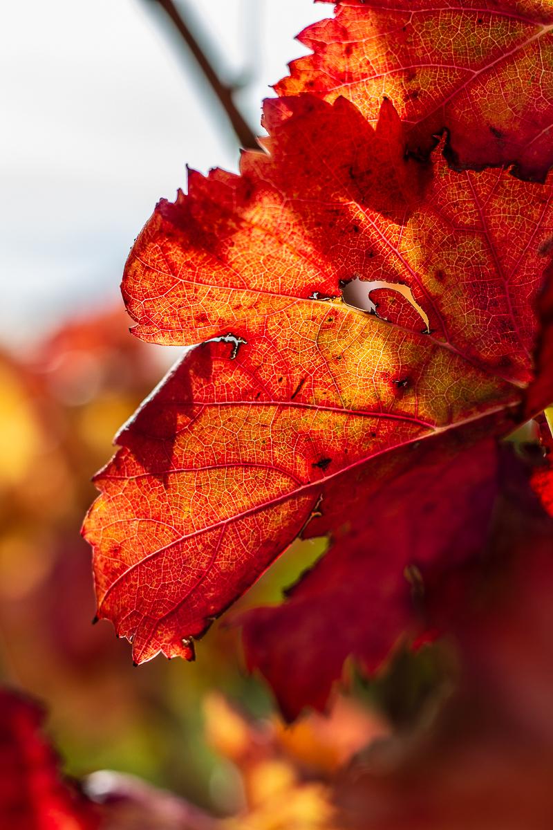 Vignes aux couleurs d'automne à Opoul