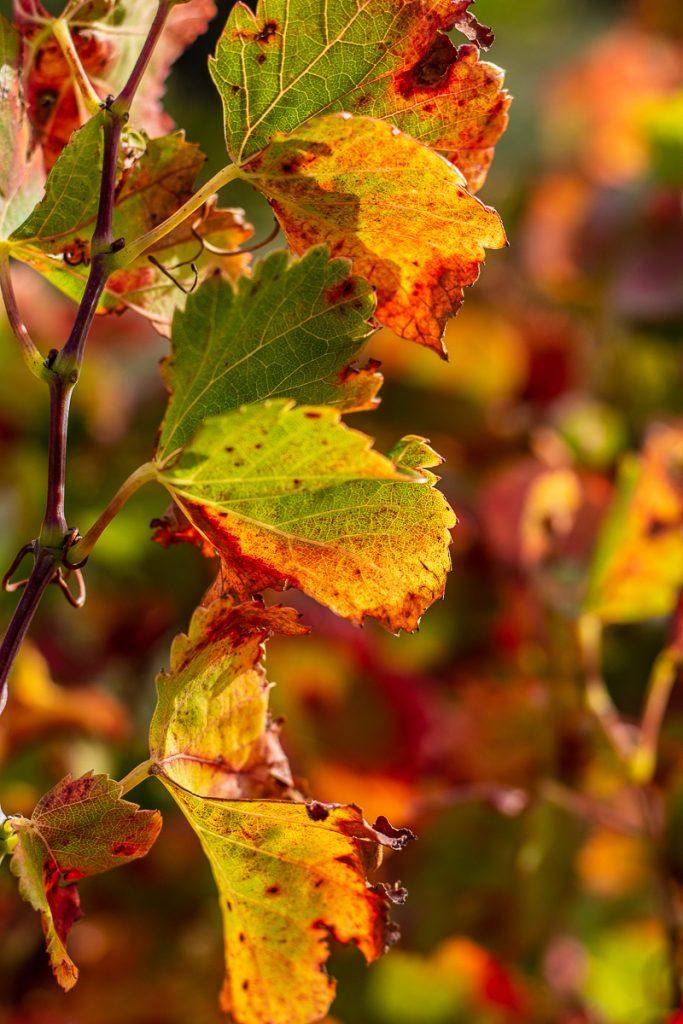 Vignes rousses à Opoul