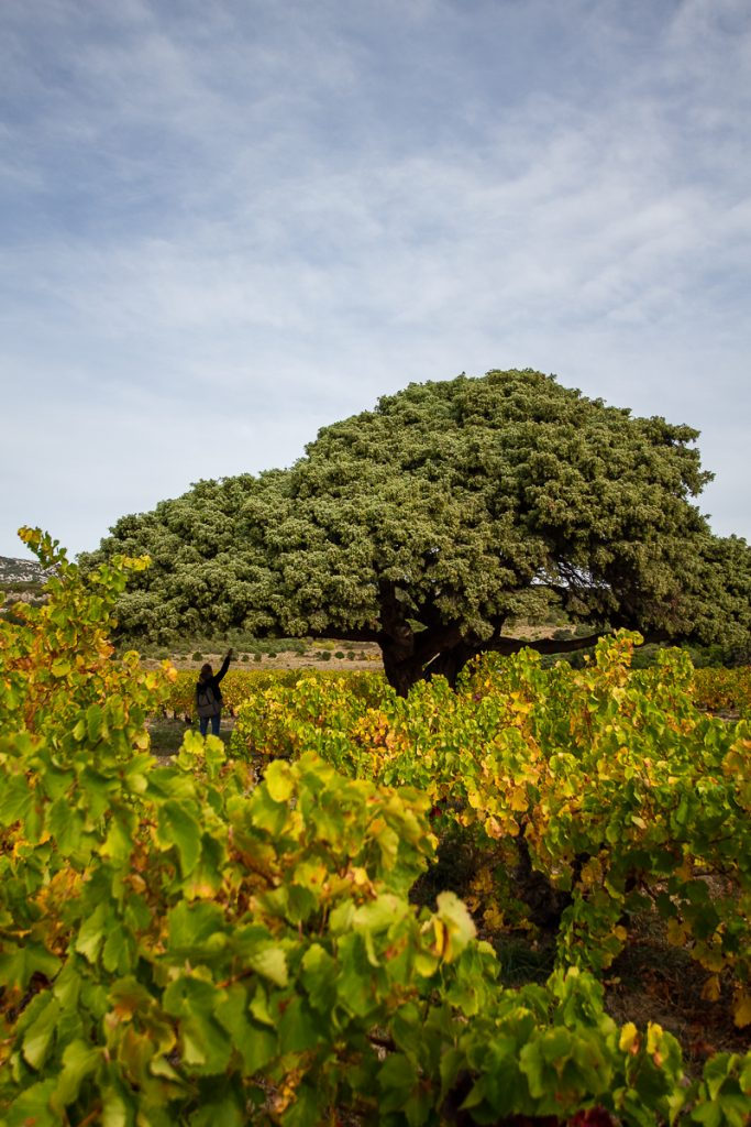 arbre remarquable à Opoul