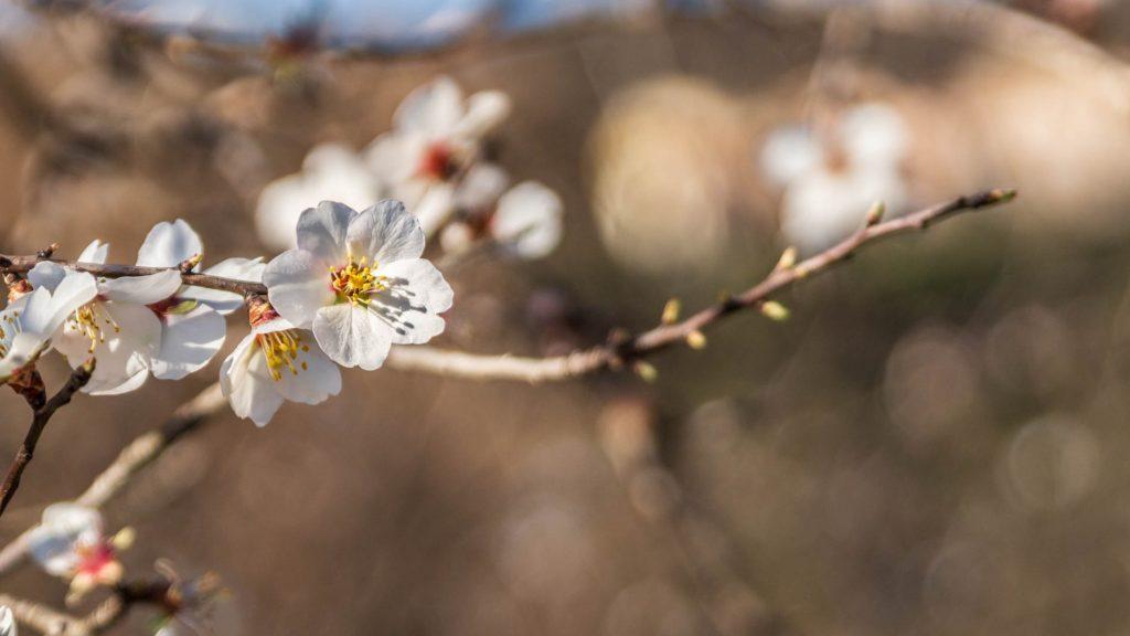 Amandiers en fleurs sur le sentier des oiseaux