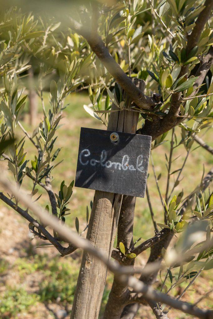 l'oliveraie conservatoire du Prieuré de Serrabone