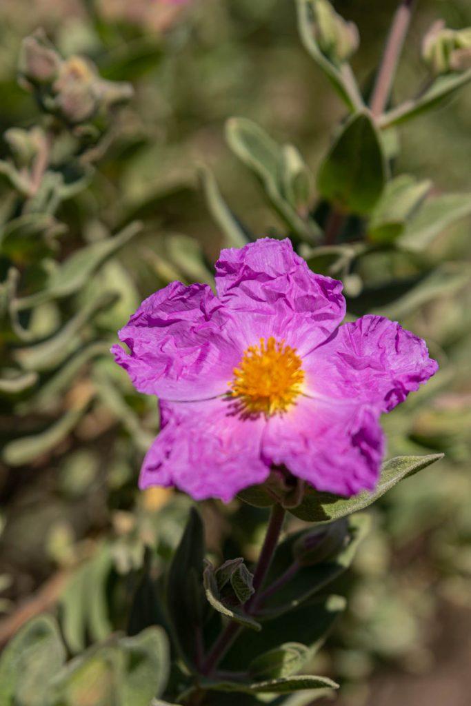 ciste en fleur, végétation typique des Aspres