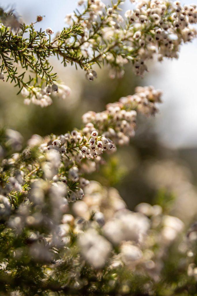 Fleurs sur le sentier de randonnée du prieuré de Serrabone au Col des Arques
